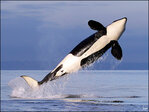 Feds weigh protecting orcas off Pacific coast