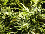 U.S. agency: Legal pot growers can't use federal irrigation water