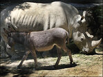 Hee-haw! At zoo, donkey pals calm restless rhino