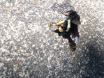 Apartment complex sidewalks covered with dead and dying bees