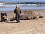 Baby whale beached near Coos Bay