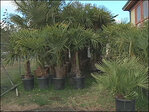 Lakeside starts project to put palm trees in Coos Co. park