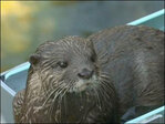 Watch: Otters enjoy water slides at Japan zoo