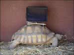 Petition: Strapping iPads to tortoises is cruel