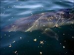 Family spots rare, 25-foot shark in Puget Sound