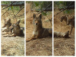 Photo Gallery: Coyote family grows up on trail cam + cute selfies