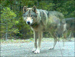 Biologists plan to re-collar wandering Oregon wolf OR-7
