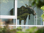 Moose shows up at German office canteen