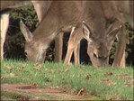 Douglas County deer dying from rare disease