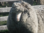 Farmers: Roaming sheep could be world's wooliest