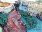 Scientists' colossal squid exam a kraken good show
