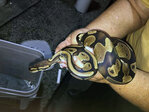During car search, deputies find heroin, meth - and one very sick python