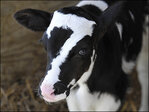 Calf with '7' on its head named for Steelers' Ben