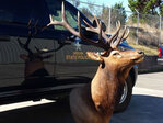 State police: Trophy elk illegally taken in Curry County