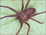Venomous spider invasion forces family from upscale home