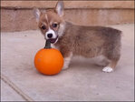 Cute alert: Corgi puppy plays with a pumpkin