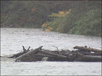 Devastated by a landslide, Oso now in danger of flooding