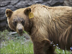 Yosemite rangers try to keep hungry bears at bay