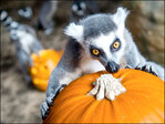 Photos: Animals have 'smashing' time with pumpkins