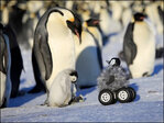 Cute chick rover: A new way to spy on shy penguins