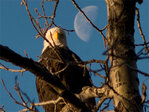20th Annual Alaska Bald Eagle Festival: 'Bring enough memory cards'