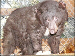 Bear cub burned in Wash. wildfire is Idaho-bound