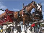 Budweiser gives its Clydesdales a holiday pink slip