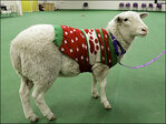 A baaaaad joke? Sheep wearing holiday sweater found in Omaha