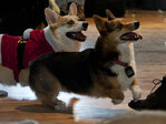 Photos: Corgis give Reed College students a break from finals stress