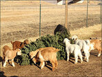 Farmers say Christmas trees make great goat snacks