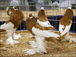 Pigeon pageant for beautiful birds dispels 'rats with wings'