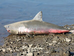 Beached shark winds up near North Bend