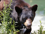 Police issue warning: Don't chase bears while drunk