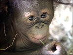 Zookeepers impersonate mama orangutan for orphaned baby
