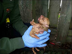 Pit bull, 9 puppies found dead in trash bag; 2 pups survive