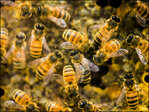 Squatters evicted: 40,000 bees removed from NYC home