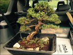 Museum's stolen bonsai tree recovered, but severely pruned