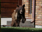 Bear captured after falling asleep during chase through Wyoming city