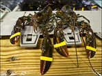 Maine brewer makes beer out of live lobsters, sea salt
