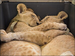 Photos: Inseparable lion cub siblings cuddle on journey to safety