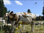 Swiss army's special mission: Keep cows cool in heat wave