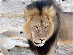 Zimbabwe: American man accused of poaching protected lion