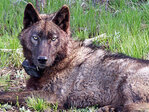 Another wolf takes up residence in the Cascades