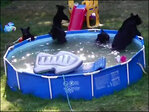 Watch: Family of bears cool off in backyard pool during N.J. heat wave