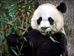 Zookeepers optimistic about survival chances for twin pandas