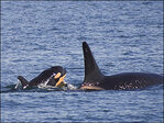 New baby is born to endangered Puget Sound orca pod