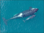 Drone gets amazing pics of new baby orca near San Juans