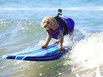 Photos: Pooches try to 'hang 20' surfing in California