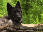 2 wolves found dead; state police investigating