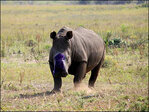 Wetland park de-horns protected rhinos as safeguard from poachers